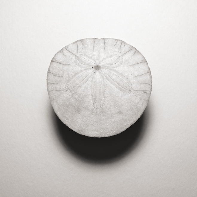 I (aboral side of test) Series: Dendraster excentricus (Western Sand Dollar)
