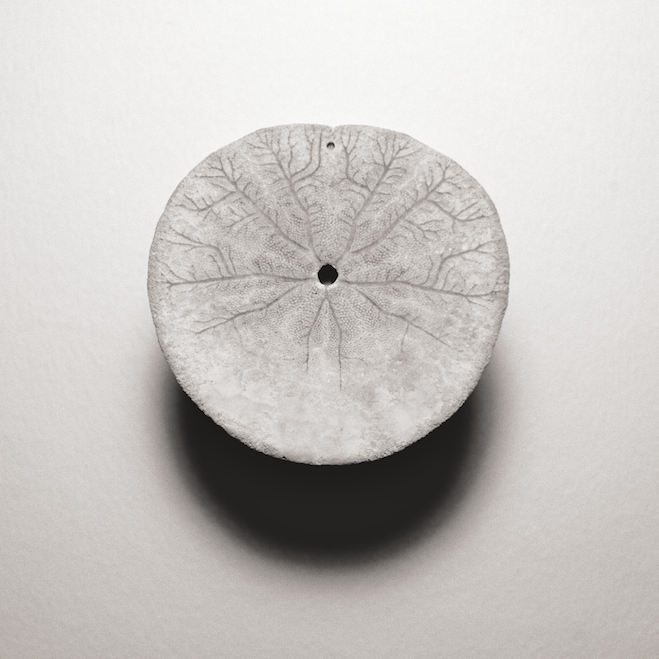 II (oral side of test) Series: Dendraster excentricus (Western Sand Dollar)